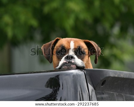 Cute Boxer dog resting head and chin on the side of a truck