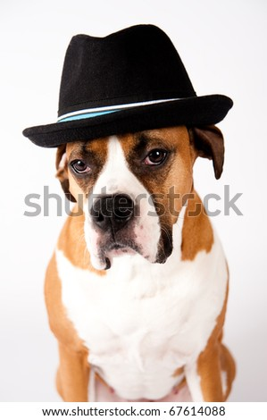 Cute Boxer Mix Dog in Blac Fedora Hat