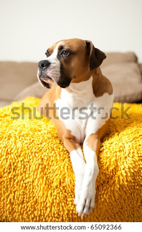 Cute Boxer Mix Dog Relaxing on Couch