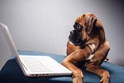 Cute boxer pupy working on laptop.