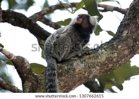 Cute Brazilian marmoset