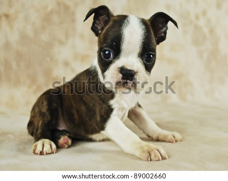 Boston Terrier Puppies on Cute Brindle Boston Terrier Puppy  Stock Photo 89002660   Shutterstock