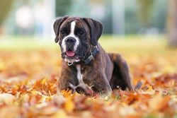 Cute brindle Boxer dog posing outdoors lying down on fallen yellow maple leaves in autumn