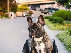 Cute brindle French bulldog sitting in a bicycle basket and look away  at the park with blurred city background