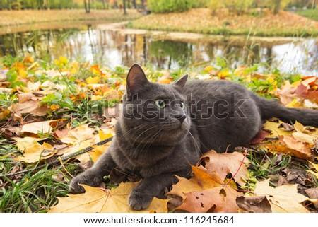 cute british cat outdoor in harness