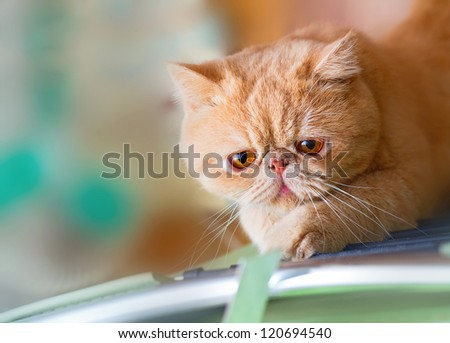 Cute British CPA garfield cat seriously scratching a chair