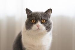 Cute British Shorthair cat, indoor shot