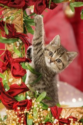Cute british shorthair cat sitting in a golden frame with red christmas background