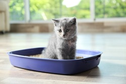 Cute British Shorthair kitten in litter box at home