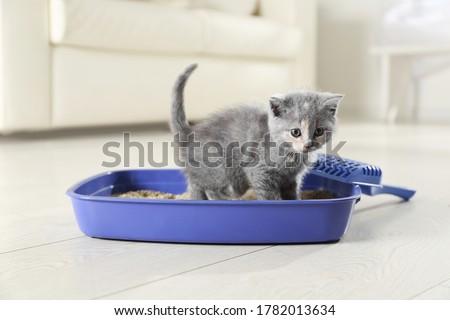 Cute British Shorthair kitten in litter box at home Сток-фото ©