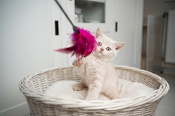 cute british shorthair kitten on pet bed playing with feather toy