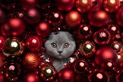 cute british shorthair kitten surrounded by red christmas baubles xmas decoration looking at camera