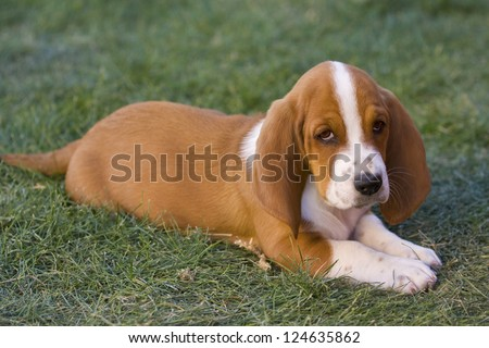 Cute brown and white Basset Hound puppy lying down outdoors in the green grass