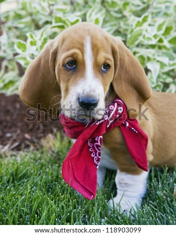 Cute brown and white Basset Hound puppy outdoors in the green grass wearing red bandana scarf