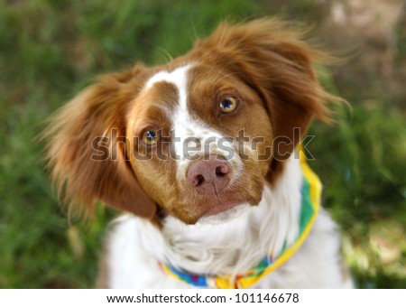 Cute brown and white Brittany Spaniel dog