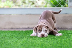 Cute Brown and white pit bull, less than a month old, on artificial grass in a dog farm. Fat puppy learning to walk Needs love and care. Dogs feel lonely and want to go out and play in a wide area.