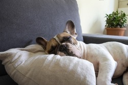 Cute brown and white short-haired adult French bulldog lounging on the gray sofa bed on the soft pillow in the living room. Happy or Tired sleeping or having rest, have lazy time animal, side view