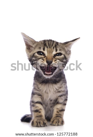 Cute brown Bengal kitten with mouth open talking isolated on white background - stock photo