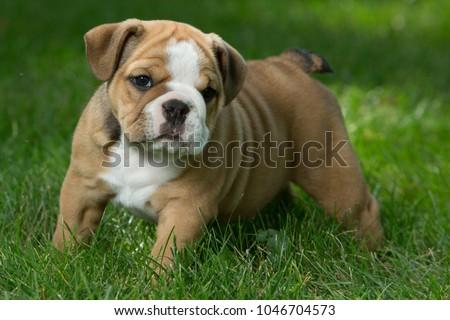 Cute brown, black, and white English Bulldog puppies #1046704573