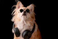 cute brown color hair chihuahua dog wear glasses and headphone music listening studio photshoot black background