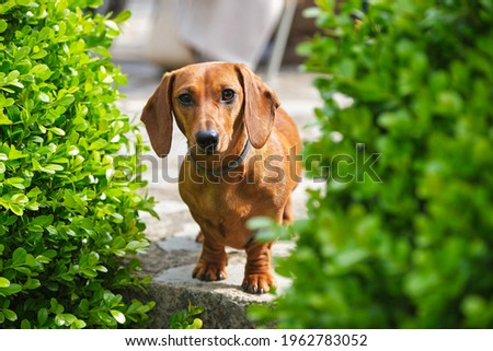 Cute brown Dachshund dog in collar standing near abundant green plants in sunny garden and looking at camera friendly Сток-фото ©