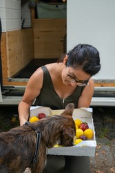 Cute brown dog picking with plums fruits in a park with a camper van behind