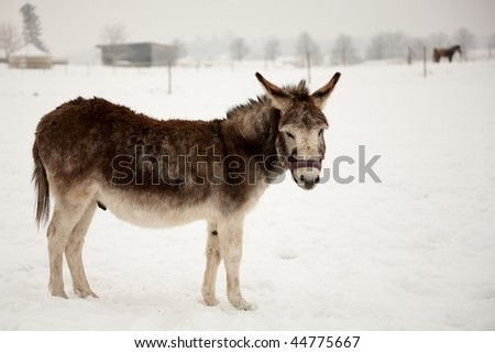 cute brown donkey standing on snow looking to the camera