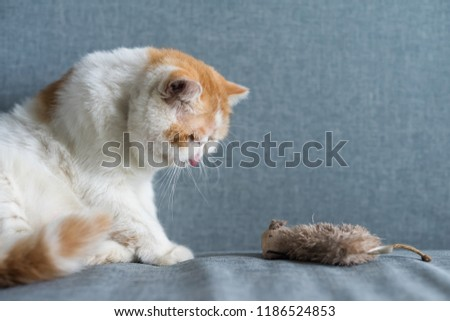 Cute Brown Exotic shorthair cat looks at fake or artificial mouse or rat on gray sofa bed with copy space for text. Funny animal in house or condo. Human best friend.