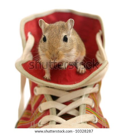 cute brown gerbil sitting in a shoe isolated on white