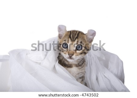 Cute brown kitten caught playing in toilet paper