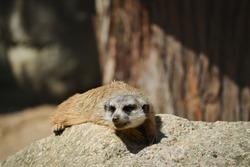 Cute Brown Meerkat Lies Down on Rock in Zoo. Suricate is an African Small Mongoose. Portrait of Animal
