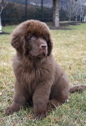 Cute brown Newfoundland puppy dog sitting in grass.