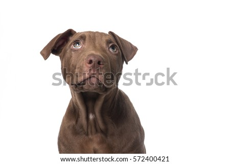 Cute brown pit-bull terrier puppy looking up on a white background