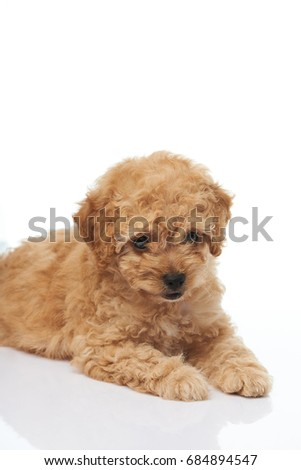 Cute brown poodle puppy laying on white background isolated #684894547