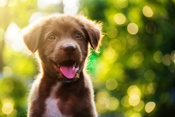 Cute Brown smile happy Labrador retriever puppy against foliage sunset light bokeh background. Adorable head shot portrait with copy space to add text. 2018 year of dog in Chinese calendar.