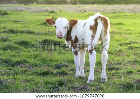 Cute Brown white calf on the meadow