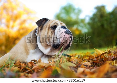 Cute Bulldog in a park in autumn