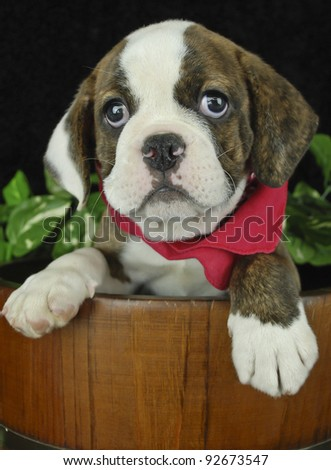 Cute Bulldog puppy in a bucket wearing a red Hankie with a black background.