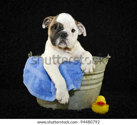 Cute Bulldog puppy sitting in a bath tub on a black background.