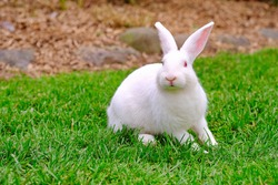 Cute bunny playing on green grass field with beautiful fluffy ears and red eyes.
