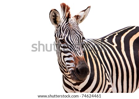 Cute burchell zebra from a safari zoo