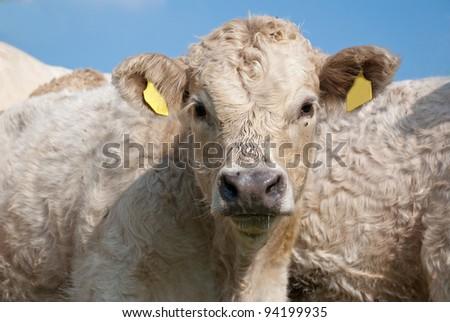 Cute calf #94199935