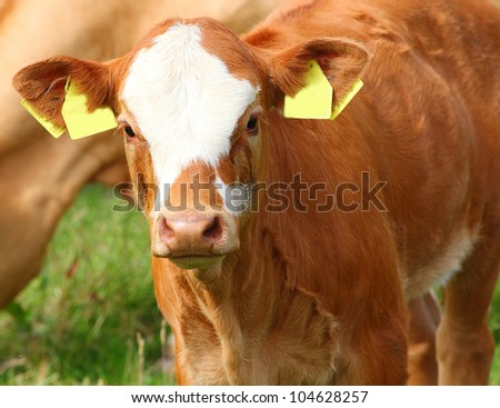 Cute calf cow on a rural meadows.