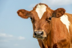 Cute calf head of a red fur with large big eyes and black nose, lovely and innocent on a blue background.