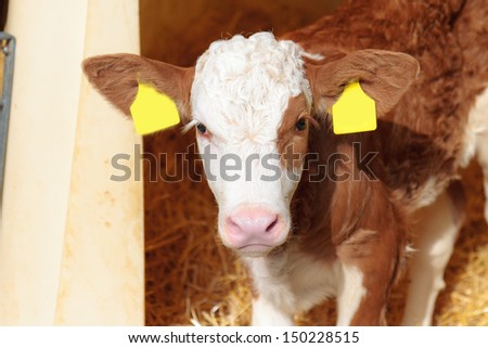 Cute Calf. Picture of a nine day old little cow in Bavaria
