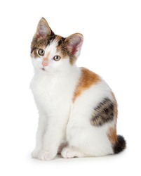Cute calico kitten isolated on white.