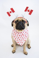 Cute Canadian pug dog wearing maple leaf bandana and headband with Canada Flags