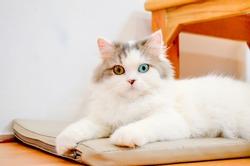 cute cat A cat portrait.cat is posing in a home.