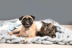 Cute cat and pug dog with blankets on floor at home. Cozy winter