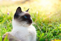 Cute Cat in Green Grass in Summer - Beautiful Siamese Cat with blue Eyes - Playing Cat - Pets Care Concept
